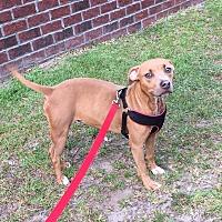 Adopt A Pet :: Nala - Jacksonville, NC