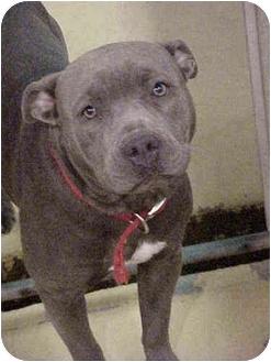 American Pit Bull Terrier Dog for adoption in Emory, Texas - Teresa