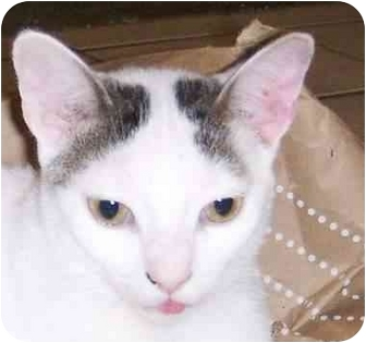 Domestic Shorthair Cat for adoption in Muskogee, Oklahoma - Dot to Dot