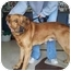 Photo 3 - Golden Retriever/Shepherd (Unknown Type) Mix Dog for adoption in North Judson, Indiana - Floyd
