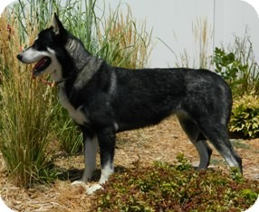 Husky Mix Dog for adoption in Columbus, Nebraska - Crystal