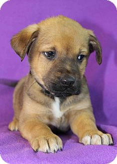 Shepherd (Unknown Type)/Husky Mix Puppy for adoption in Westminster, Colorado - Enzo