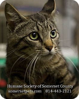 Domestic Shorthair Cat for adoption in Somerset, Pennsylvania - Bailey