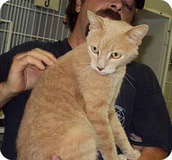 Domestic Mediumhair Cat for adoption in Mt. Vernon, Illinois - Mela