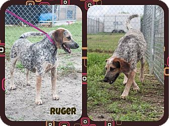 Bluetick Coonhound Mix Dog for adoption in Corpus Christi, Texas - Ruger