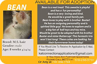 Domestic Mediumhair Kitten for adoption in East Meadow, New York - Bean