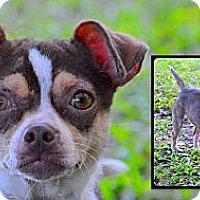 Adopt A Pet :: Escarlit - Brooksville, FL