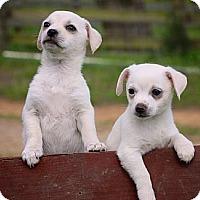 Adopt A Pet :: Puppies! - Flowery Branch, GA
