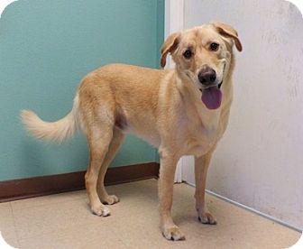 Labrador Retriever Mix Dog for adoption in Austin, Texas - George