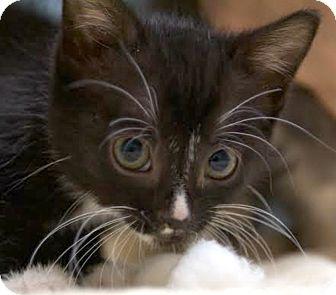Domestic Shorthair Kitten for adoption in Montclair, New Jersey - Pepper