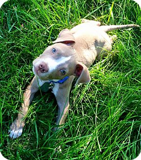 Pit Bull Terrier/American Pit Bull Terrier Mix Puppy for adoption in Dayton, Ohio - Ari