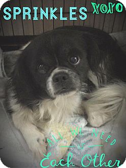 Japanese Chin/Pekingese Mix Dog for adoption in Everman, Texas - Sprinkles
