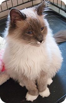 Siamese Cat for adoption in Buhl, Idaho - Ernie