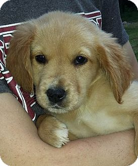 Golden Retriever/Terrier (Unknown Type, Medium) Mix Puppy for adoption in SOUTHINGTON, Connecticut - Sadie
