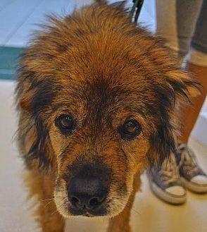 Chow Chow Mix Dog for adoption in Westbury, New York - Bagel