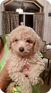 Poodle (Toy or Tea Cup) Puppy for adoption in Fairview Heights, Illinois - Martha