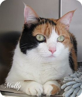 Domestic Shorthair Cat for adoption in Jackson, New Jersey - Molly