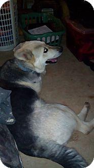 German Shepherd Dog Mix Dog for adoption in Mount Perry, Ohio - Bear