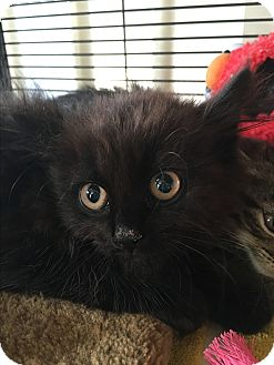 Domestic Longhair Kitten for adoption in Wayne, New Jersey - Prissy