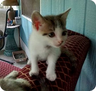 Domestic Mediumhair Kitten for adoption in Jacksonville, Florida - Milky Way