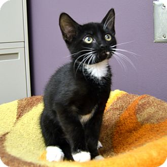 Domestic Shorthair Kitten for adoption in Wheaton, Illinois - Sox