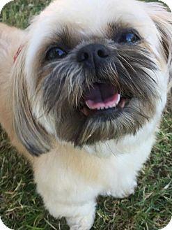 Shih Tzu Dog for adoption in Phoenix, Arizona - JOY