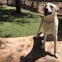 Anatolian Shepherd Mix Dog for adoption in Scottsdale, Arizona - Honey