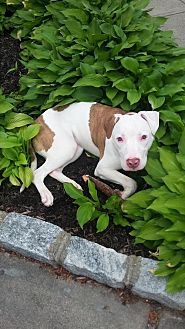 American Pit Bull Terrier Mix Dog for adoption in Savannah, Georgia - Logan