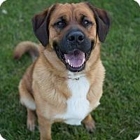 Adopt A Pet :: Sheba - Drumbo, ON