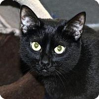 Domestic Shorthair Cat for adoption in San Francisco, California - Harriet
