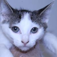 Adopt A Pet :: Oreo- Mostly White - Daytona Beach, FL