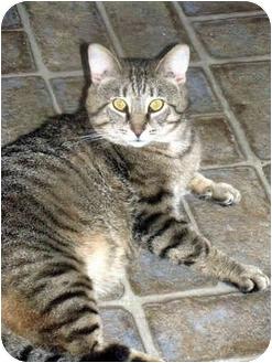 Domestic Shorthair Cat for adoption in Xenia, Ohio - Garth