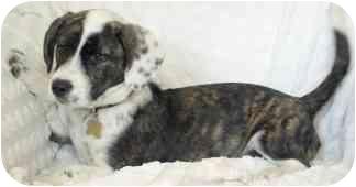 Terrier (Unknown Type, Medium)/Basset Hound Mix Puppy for adoption in Wake Forest, North Carolina - Journey
