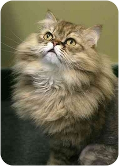 Persian Cat for adoption in Montreal and Area, Quebec - Pacha