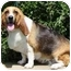 Photo 2 - Basset Hound Dog for adoption in Osseo, Minnesota - Tabby and Toby