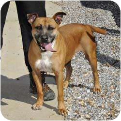Boxer Mix Dog for adoption in Blairsville, Georgia - Buster Brown