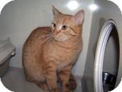 Domestic Shorthair Cat for adoption in West Dundee, Illinois - Simba 2