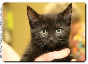 Domestic Shorthair Kitten for adoption in Yorba Linda, California - Peanut