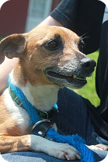 Jack Russell Terrier/Chihuahua Mix Dog for adoption in New Fairfield, Connecticut - Rosie