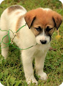 Australian Shepherd/Labrador Retriever Mix Puppy for adoption in Allentown, Pennsylvania - Josie
