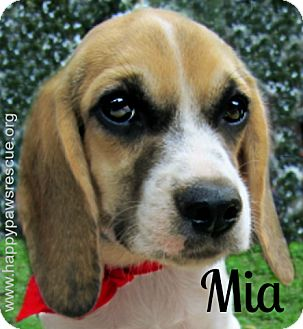 Beagle Mix Puppy for adoption in South Plainfield, New Jersey - Mia