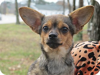 Chihuahua Mix Dog for adoption in Harrisonburg, Virginia - Penelope Pea