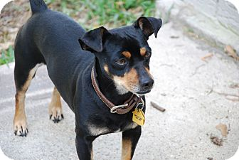 Miniature Pinscher/Chihuahua Mix Dog for adoption in New Milford, Connecticut - Highway