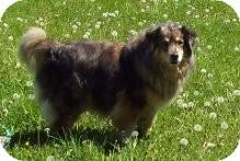 Australian Shepherd Mix Dog for adoption in Ellensburg, Washington - Quilla