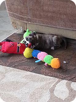 American Staffordshire Terrier/Labrador Retriever Mix Puppy for adoption in Norwalk, California - Sugar