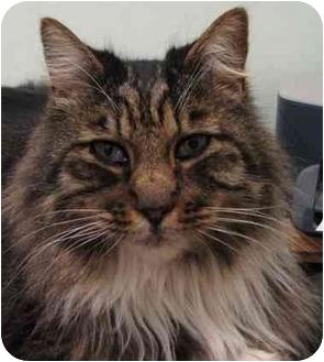 Maine Coon Cat for adoption in Davis, California - Aristotle