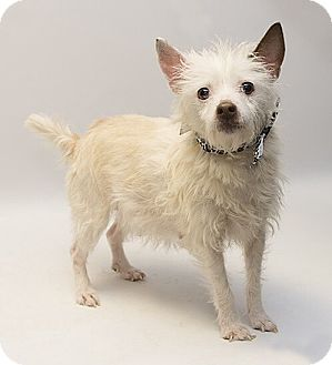 Terrier (Unknown Type, Small) Mix Dog for adoption in Troy, Ohio - Annie