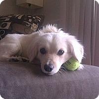 Adopt A Pet :: Goldie - Encinitas, CA