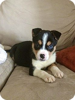 Australian Shepherd Mix Puppy for adoption in Virginia Beach, Virginia - Lexus