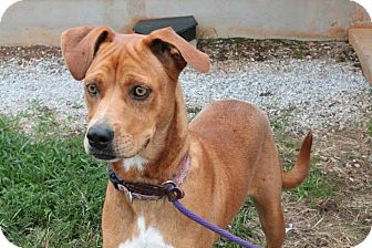 Boxer/Hound (Unknown Type) Mix Dog for adoption in Woodlyn, Pennsylvania - Hastings